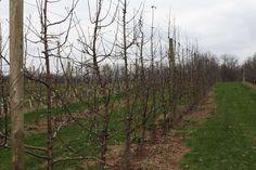 The Dark Side Of Honeycrisp | Growing Produce