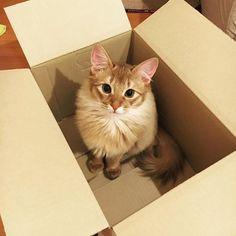 箱入り娘 . #ソマリ #ソマリレッド #ねこ #猫 #ニャンスタグラム #somali #somalire #kitty #cats #cat #kitten #ねこのいる生活 #にゃんすたぐらむ #愛猫 #ねこ部