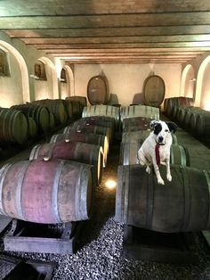 Dogs friendly winery in Tuscany