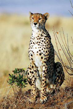 Cheetah (Acinonyx jubatus) by Sesalos on Flickr.