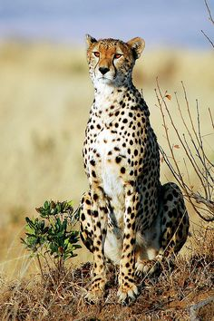 Cheetah (Acinonyx jubatus) by Sesalos on Flickr.