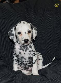 #Dalmatian #CuteNCuddly #MansBestFriend #PuppyLove  #BuckeyePuppies #Loyal www.BuckeyePuppies.com