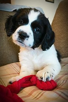 Aurora, CO - Cocker Spaniel. Meet Moose a Pet for Adoption. Tiny Baby Animals, Animals And Pets, Cute Animals, English Cocker Spaniel Puppies, American Cocker Spaniel, Moose Pictures, Cute Animal Pictures, Cute Puppies, Cute Dogs