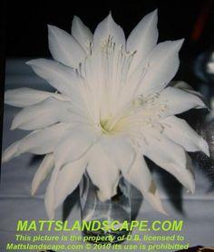 Epiphyllum hybrid 'Lola Leah'