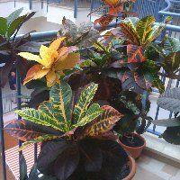 Kroton (csodacserje) gondozása, szaporítása, betegségei, visszavágása Indoor Garden, Bokor, Gardening, Plant, Lawn And Garden, Horticulture