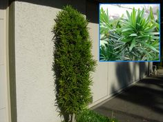 vertical shrubs,Podacarpus Yew, long finger like leaves, stays green all year and blue berries in the fall.