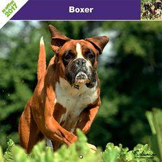 Calendrier chien 2017 - Race Boxer - Affixe Edition
