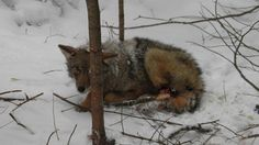 """Petition! Please sign! Ban cruel snares and restraint trapping - This picture is a young Algonquin wolf I came across just feet from a well travelled snowmobile trail while walking my dogs the end of Jan 2014. He had been there for days from the evidence of the surroundings and the severity of the wound.   Note: This brave woman who rescued this wolf was almost fined by trappers for removing a """"harvest"""" (the wolf) from a legally set trap. They insist what she did was illegal."""