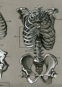 Human skeletal anatomy by dwil05