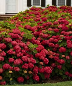 'Red Sensation' is a reblooming hydrangea that is compact in nature and well branched, never needing a trim or pruning. This powerhouse may be petite but you will be amazed to find out it resists almost all pests and diseases. Clusters of lime green mophead blooms transform into bright red at maturity and as cooler temperatures arrive and your hydrangea blooms turn deep antique purple, sure to have butterflies swarming to your garden. Due to its compact nature, 'Red Sensation'...