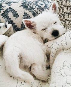 Dog Breeds Little .Dog Breeds Little Animals And Pets, Baby Animals, Funny Animals, Cute Animals, Cute Puppies, Cute Dogs, Dogs And Puppies, Doggies, Westie Puppies