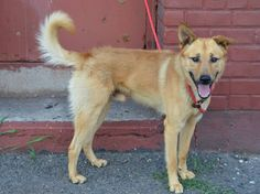 ~~BEAUTIFUL 18 MO. OLD BOY TO BE DESTROYED 7/30/14~~ Brooklyn Center -P  My name is BLUE. My Animal ID # is A1007252. I am a male tan germ shepherd and labrador retr mix. The shelter thinks I am about 1 YEAR 6 MONTHS old.  I came in the shelter as a OWNER SUR on 07/18/2014 from NY 11426, owner surrender reason stated was PERS PROB.