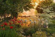 Pettifers, oxfordshire: Dawn light on border planted with allium 'mount everest' , papaver orientalis 'beauty of livermere' and cornus controversa 'variegata'