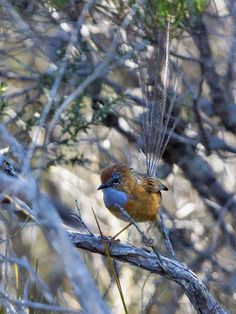 Southern emu wren, the bird that weighs the same as a teaspoon of sugar