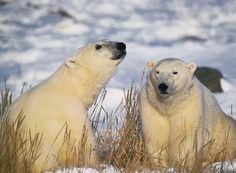 polar bears | ... the segment polar bears suffer due to warmer weather the polar bears