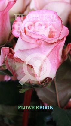 Roos Ecua High & Elegance