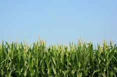 Popular items for cornfield on Etsy