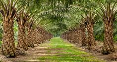 New research equips oil palm growers to better manage land and crop more sustainably Agriculture News, Cash Crop, Low Maintenance Hair, Working Mums, Central Business District, Palm Oil, West Africa, Agra, Palm Trees