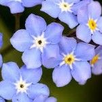 Forget me not s All Flowers, My Flower, Colorful Flowers, Forget Me Not, Blue Roses, Tulips, World, Pretty, Photography
