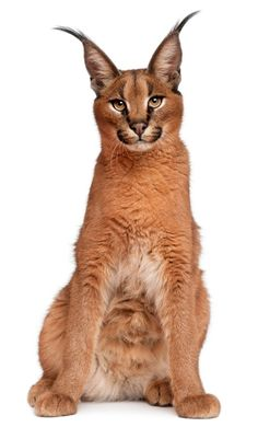 Caracal Caracal, Caracal Kittens, Serval, Cats And Kittens, Baby Caracal, African Elephant, African Animals, Big Cats, Cool Cats