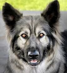 Yuma -   Image result for alsatian shepalute wikipedia  -
