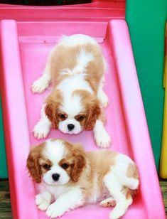 Cavalier King Charles Spaniel Puppies, we are going to do it, we are going to do it.just working ourselves up Puppies And Kitties, Cute Puppies, Cute Dogs, Doggies, Beautiful Dogs, Animals Beautiful, Australian Shepherd Husky, King Charles Puppy, Cavalier King Charles Spaniel Puppy