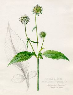 Lilian Snelling -- Dipsacus pilosus, Small Teazle, Shepherd's Rod -- Lilian Snelling -- Artists -- RHS Prints