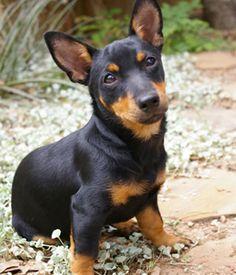 lancashire heeler dog photo | Lancashire Heeler breed info,Pictures,Characteristics,Hypoallergenic ...