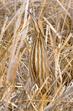 American bittern bird - by Francis & Janice Bergquist - Camouflaged bird blends in with background for their survival.