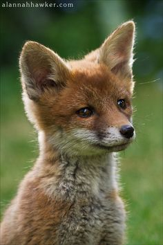 Red Fox Cub by Alannah Hawker (what a sweet face! Cute Baby Animals, Animals And Pets, Funny Animals, Wild Animals, Beautiful Creatures, Animals Beautiful, Animal Pictures, Cute Pictures, Animals Photos