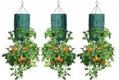 Como plantar tomates en botella de plástico | Esurfline (Tutorias , Proyectos, Anuncios y Clasificados)