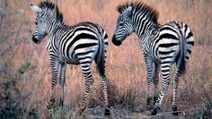 The Nairobi National Park in Kenya is home to these (non-identical) twin zebras. Photographed in Nairobi National Park in Kenya.