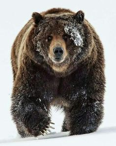 Mato #runningbear #mato #grizz #wrunningbear #lakota #oglala #oglalalakota #indigenous