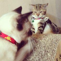 ขาประจำ  #Padgram Cats Of Instagram, Animals, Animais, Animales, Animaux, Animal