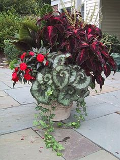 Escargot begonia's and coleus