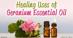 """Derived from the """"poor man's rose,"""" discover how geranium oil benefits your health and its many uses around the home"""
