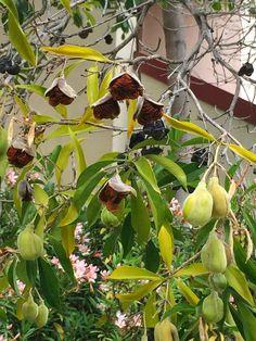 Hymenopsorum flavum