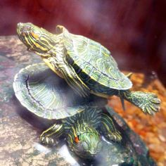I can fly! Red Eared Slider, Creatures 3, Sliders, Animals, Baby Tortoise, Animales, Animaux, Animais, Romper