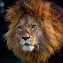 (Express) Deadly pet diseases are feared to be killing off some of the world's rarest big cats. At least 23 Asiatic lions have died over the past three Big Cats, Cats And Kittens, Asiatic Lion, Black Friday Specials, Blog Voyage, Wildlife Photography, Lions, Logo Design, Bible