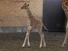 Adorable baby giraffe's name revealed
