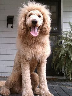 Charles The Monarch, a Labradoodle groomed to look like a lion. Isn't he adorable!