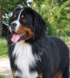 Bovaro del bernese