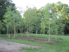 Fabulous My three year old Moringa forest