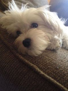 So Sweet Maltese Maltese Dogs Maltese Puppy Cute Dogs