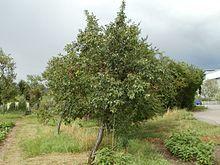 Zwetschge - Central European Plum /  Damson Tree
