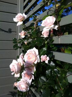 Penny Lane rose-We're training one of these around the front door. So much growth and so many flowers, it's only been in the ground 8mths!