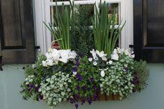 Mild Winter Window box. Cyclamen, lobelia trailing plants and spring bulbs.