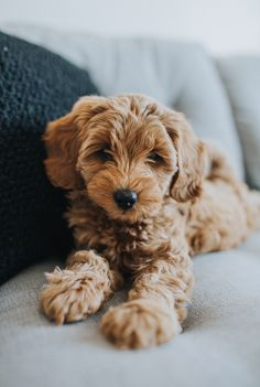 mini goldendoodle - i like it - Chien Mini Goldendoodle, Goldendoodles, Cockapoo, Labradoodles, Cavapoo Puppies, Puppy Care, Pet Puppy, Dog Cat, Cute Dogs And Puppies