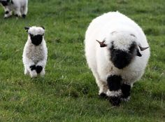 There's a breed of sheep from the Valais region of Switzerland that tops the list for the world's cutest sheep. The Valais Blacknose sheep are well known for their shaggy coats and spiral horns, but Baby Sheep, Cute Sheep, Sheep And Lamb, Nature Animals, Farm Animals, Animals And Pets, Cute Animals, Wild Animals, Beautiful Creatures