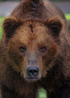 Grizzly Bear by Alvino, via 500px.com